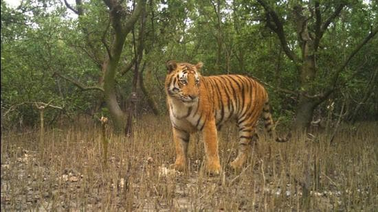 A tiger at Sunderban. (Source forest department)