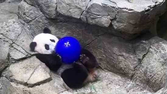 The image shows a giant panda cub playing with a ball.(Instagram/@smithsonianzoo)