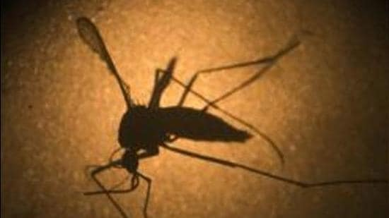 The zika virus infection can strike due to the zika virus (ZIKV), which is a mosquito-borne human flavivirus. (AP)
