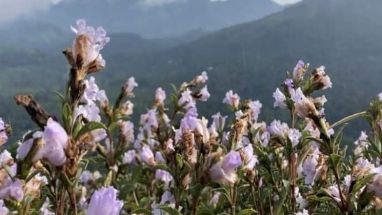 Strobilanthes Kunthiana, known as Neelakurinji and Kurinji in Malayalam and Tamil, is a shrub that is found in the Shola forests of the Western Ghats.(ANI)