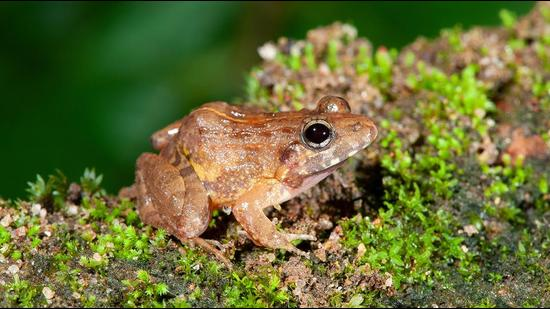 The species was discovered during a decade-long comprehensive study on a large group of Minervaryan frogs and has been named Minervarya pentali. (Systematics Labs, DU)