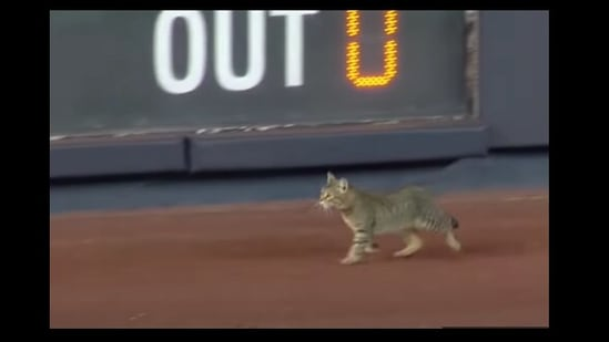 The image shows the feline that came inside the Yankee stadium.(YouTube/@MLB)