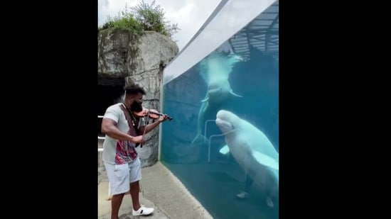 The image shows some beluga whales listening to the violin performance by Big Lux.(Instagram/@mysticaquarium)