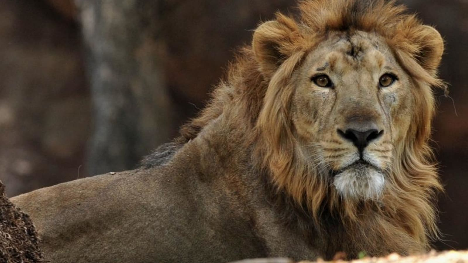 World Lion Day 20 History and significance   Latest News India ...
