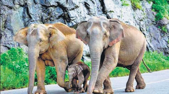 The 2017 elephant census results revealed that the distribution range of elephants in the country had expanded and many states that never had any elephants were recording elephant presence. (HT file photo)