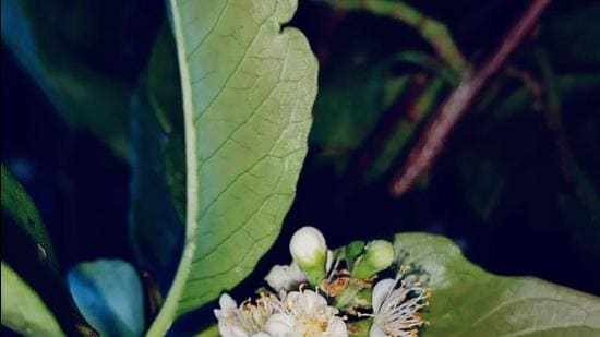 The plant, named Symplocos Mohananii, carries white flowers, that usually bloom in night, according to researchers. (HT Photo)