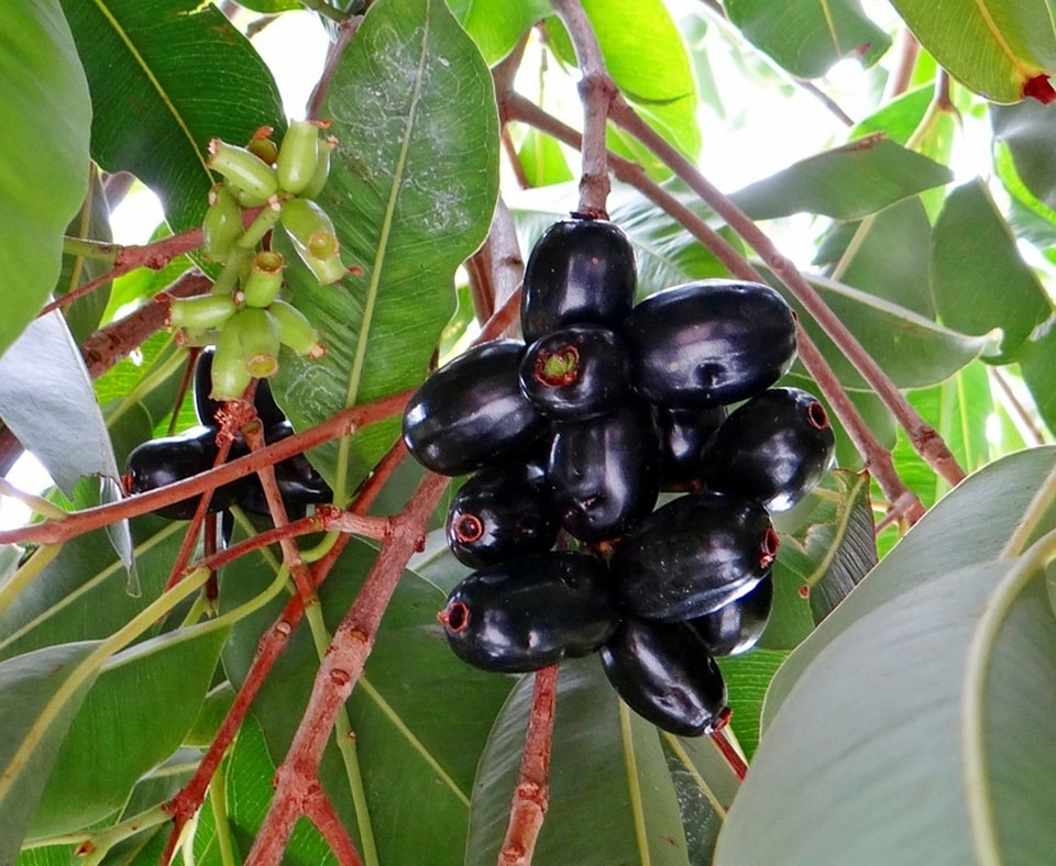 Jamun is a wonder fruit for people with Diabetes(Pixabay)