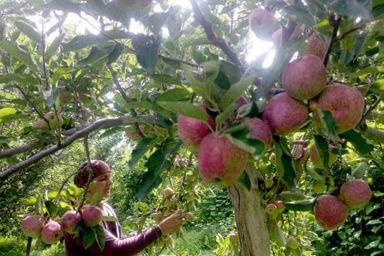 Apple crop being harvested in the upper Shimla area. The state capital accounts for 70% of the total apples produced in Himachal Pradesh. (HT file photo)