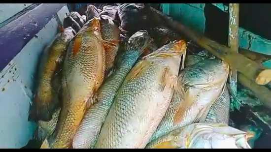 Palghar fisherman sells 157 Ghol fish for Rs1.33 crore