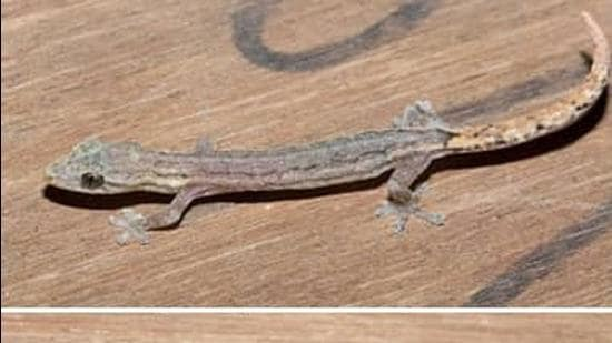 Specimens of Hemiphyllodactylus goaensis were found from two localities in Goa – two in north Goa at Goa University campus and one in south Goa at Chandor (Courtesy- Goa University)