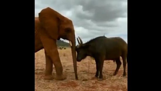 The image shows an elephant and a buffalo who are friends.(Twitter/@SheldrickTrust)