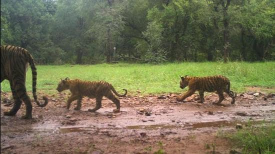 Tigress T-105 was spotted with her three new born cubs at the Ranthambore tiger reserve in Rajasthan. (Photo Courtesy- Forest Department)