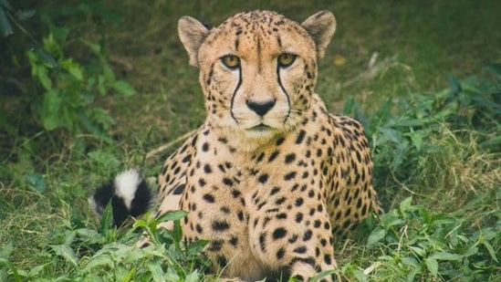 The International Union for Conservation of Nature (IUCN) lists the Asiatic Cheetah to be critically endangered.(Unsplash)