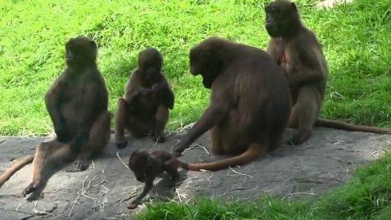 The image shows the mama monkey holding the tail of her baby.(Jukin Media)