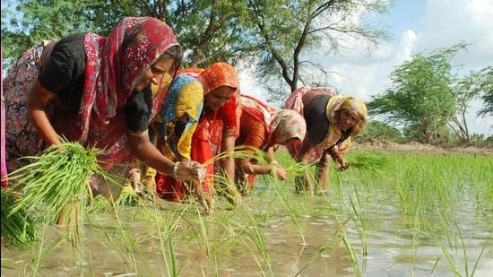 Rice fields in many districts of the food bowl states of Punjab, Haryana and parts of Uttar Pradesh have gone under water, growers said, while Delhi witnessed historic rains on Saturday. (HT FILE PHOTO.)