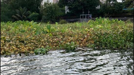 Water hyacinths turn brown after use of herbicides in Powai lake. (Vanashakti)
