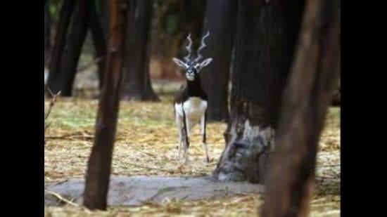 The blackbuck deaths at Bathinda zoo have left the wildlife authorities baffled. (HT photo)
