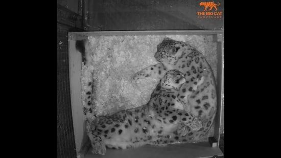 Snow leopards Yarko and Laila sleeping and enjoying some cuddles. (Instagram/@thebigcatsanctuaryuk)