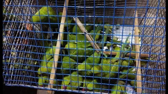 Rose-ringed parakeets are protected under schedule -IV of the Wildlife Protection Act, 1972. (Sourced)
