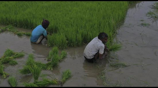 The Vidhan Sabha panel observed Punjab consumes about 62 billion cubic metre groundwater annually and recharges only a fraction of it, while recommending direct seeding of rice to replenish groundwater. (AP)