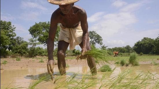 Though the surplus rain in September may shore up overall rainfall percentage in Odisha this monsoon, the huge monthly variation may take its toll on paddy crop. (Arabinda Mahapatra/HT Photo)