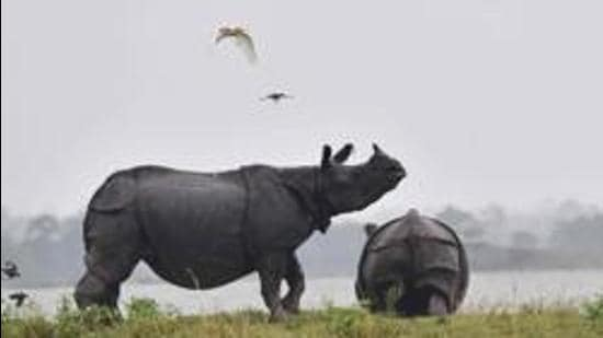 (Indian one-horn rhinoceroses next to flood waters on higher land at Kaziranga National Park. (HT archive)
