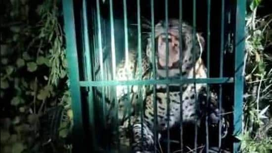 A forest official is installing a cage in Patrampur village in Jaspur of US Nagar. (HT photo)