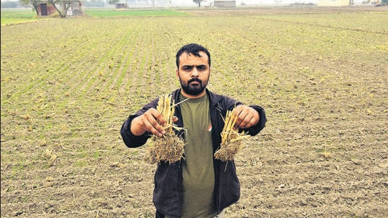 A farmer holds up remnants of stubble left in the field after using the Pusa decomposer at village Jhuljhuli near Najafgarh in New Delhi on November 24, 2020. (HT archive)
