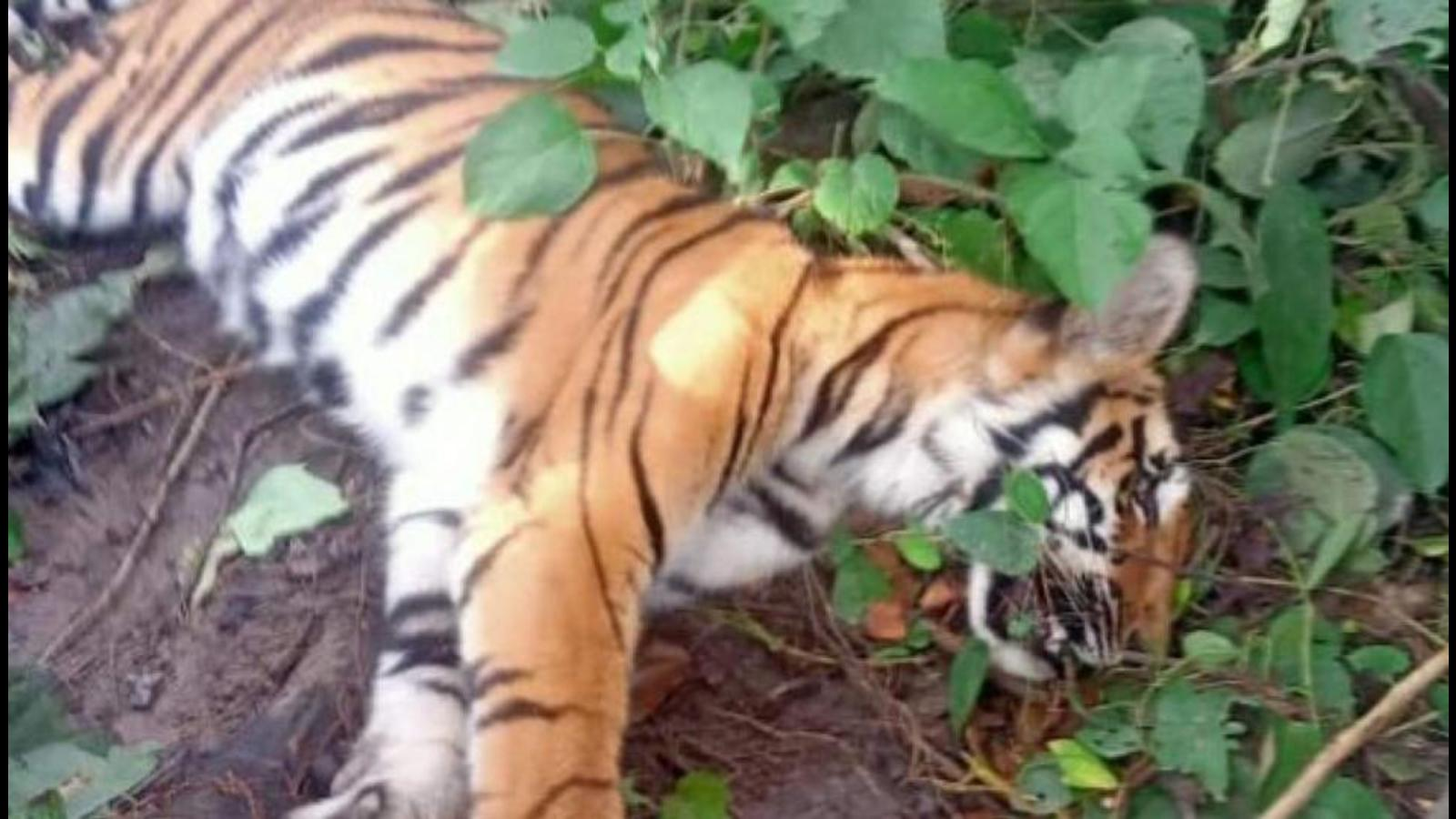 Carcass of tigress found in Dudhwa Tiger Reserve area