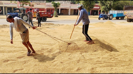Haryana government will start paddy procurement from October 1. (HT Photo)