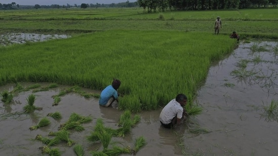 The crop varieties have been developed by the Indian Council of Agricultural Research.(AP Photo)