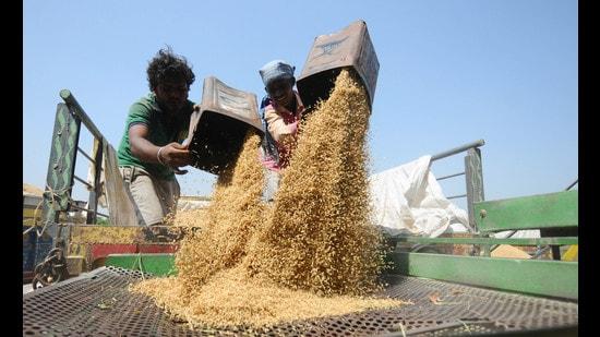 Farmers drying their paddy Chandigarh, September, 29, 2020. (Ravi Kumar/Hindustan Times)