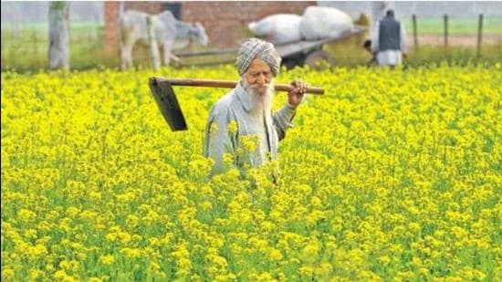 A farmer inspecting his mustard crop in Punjab. India is equipped to become self-reliant in edible oil production. It has the suitable natural conditions to produce several nutritious oilseeds, including groundnut, mustard and cottonseed. (Representative photo)