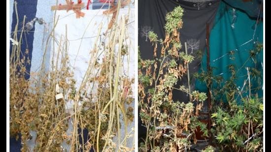 According to police, <span class='webrupee'>₹</span>1 crore worth of hydroponic marijuana and LSD were seized during the raid. Police have also arrested four men, including two Iranian nationals during the raid (HT Photo)