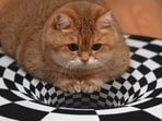 In the video, the cat sits in the middle of the circular optical illusion. Screengrab