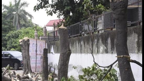 The four trees belonged to the alstonia genus and were growing outside a sealed house adjacent to Verma's home in Sector 9 of Raj Nagar, a prime locality. (Sakib Ali/HT photo)