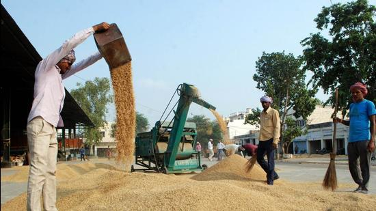 This procurement policy, which incentivises big cereals, has caused Punjab's rich landscape of corn, barley, gram, lentils and nutritious coarser cereals to disappear within a decade of big cereals entering the state in the late 1960s. (Sparsh Thakur)