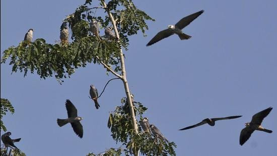The divisional forest officer (DFO) Kh Hitler of Tamenglong forest division shared pictures and videos of Amur Falcons hovering in the sky in a WhatsApp group on Monday. (AP Photo/File)