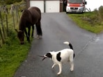 Doggo tries to boss around the horse by pulling the latter forward in its direction. (Jukin Media)