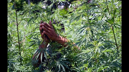 Himachal Pradesh's drug problem includes illicit cultivation of cannabis and opium and the production of chemical narcotic drugs. Kullu is infamous for illicit cannabis cultivation. (HT file photo)