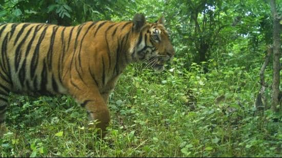 Out of 312 tigers in the state, 203 are within Tadoba and its buffer zone.