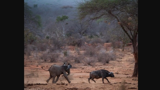 The image shows the elephant chasing a buffalo.(Instagram/@sheldricktrust)