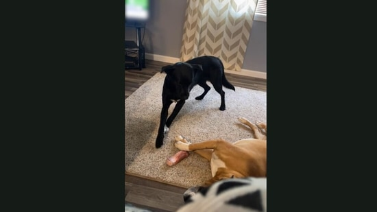 Dog cleverly steals a bone-shaped treat from a sleeping pooch.(Jukin Media)
