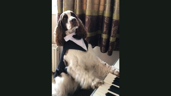 The dog plays an 'interesting' tune on a piano.(Jukin Media)