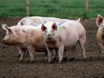 """According to Bloomberg, about 120,000 pigs had nowhere to go at the start of October which could have resulted in massive """"welfare"""" culls.(Reuters)"""