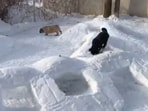 The dogs enjoy moving in and out of the snow tunnels created by their human.(Jukin Media)