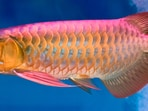If you keep Arowana fish inside the house then it is very beneficial.