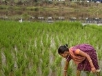 Now, the villagers see hope in chief minister Arvind Kejriwal's assurance on compensation for crop damage.(AP file photo)