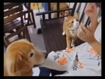 Cat looks at dog, learns and practises what to do to get a treat from their human.(reddit/@Working_Letter_4892)