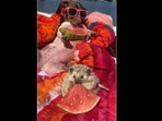 The dachshund and a hedgehog friend enjoy some watermelon while floating around in a pool.(instagram/@mylesandwillows)
